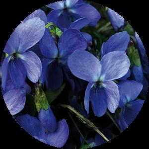 Veilchen – die Blüte des Vertrauens
